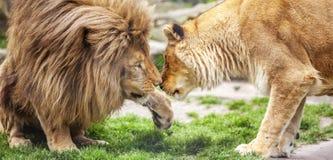 Lion et lionne Image stock
