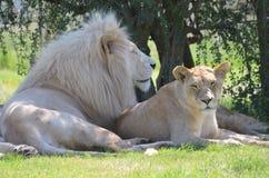 Lion et lionne Image libre de droits