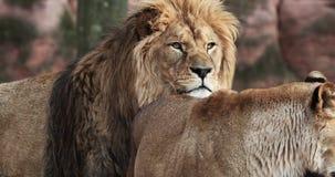 Lion et lionne ensemble banque de vidéos