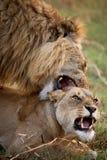Lion et lionne faisant l'amour Delta d'Okavango Photographie stock libre de droits