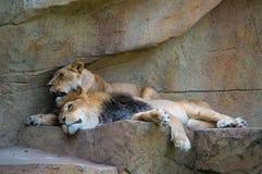 Lion et lionne (Panthera Lion) se reposant ensemble sur une roche Image stock