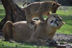 Lion et petit animal Photos stock