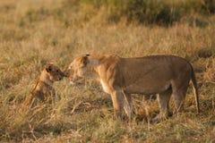 Lion et petit animal dans le masai Mara, Kenya Photographie stock libre de droits