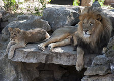 Deux lions Photo stock