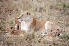 Lion et petits animaux femelles dans le masai Mara Kenya Images stock