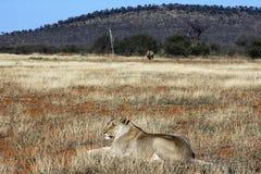 Lion et rhinocéros Photographie stock