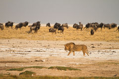 Lion in Etosha. Lion ,safari Etosha, Namibia Africa Stock Photos