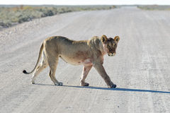 Lion in Etosha, Namibia Stock Photos