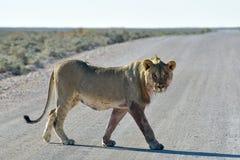 Lion in Etosha, Namibia Royalty Free Stock Image