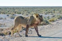 Lion in Etosha, Namibia Royalty Free Stock Photos