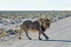 Lion in Etosha, Namibia Stock Photo