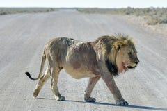 Lion in Etosha, Namibia Stock Image