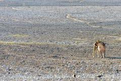 Lion in Etosha, Namibia Royalty Free Stock Images