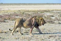 Lion in Etosha, Namibia Royalty Free Stock Photo