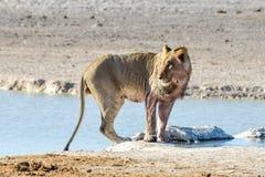 Lion in Etosha, Namibia Royalty Free Stock Photography