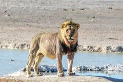 Lion in Etosha, Namibia Stock Photography