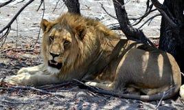 Lion Etosha Park Namibia Fotografering för Bildbyråer