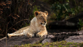 Lion in the evening sun. This young one was lit in choice golden light as we hung around a large pride of lions resting on rocks  in the Masai Mara Royalty Free Stock Image