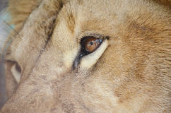 Lion eye Stock Photos
