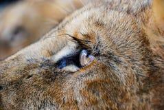 Lion Eye fotos de archivo