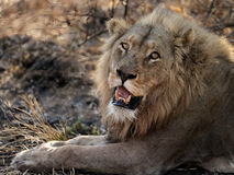 Lion eyeing me. Image of young, healthy male lion taken in Kruger National Park, South Africa. He was resting with a lioness in the shade of a thorn tree Stock Photos