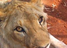 Lion eyes. Lion close up looking at camera Royalty Free Stock Photos