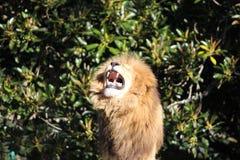 Lion fâché hurlant, avec la crinière velue montrant ses dents photos stock