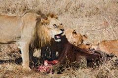 lion för 040 djur Arkivbilder