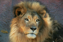 Lion Face Stock Photo
