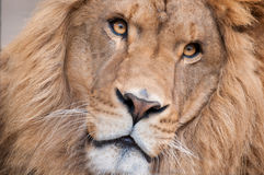 Lion Face. This is a close up of the face of a lion with amazing lighting on the eyes Stock Photography