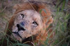 Lion face. Lion at rest in the South African bush stock images