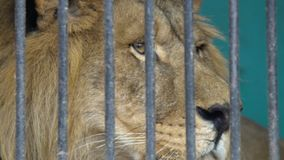 Lion face in a cage, cruel captivity in a circus zoo stock video footage