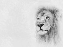 Lion Face on Card Banner. Black and White Image of Lion Face on Card Banner stock photos