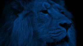 Lion Face Closeup At Night. Closeup of a big male lion in the dark looking around stock video footage
