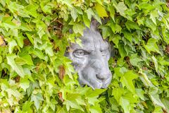 Lion face concrete hidden in green ivy wall. Stock Photography