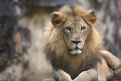 Lion face (front look close up) resting on top of a rock Royalty Free Stock Images