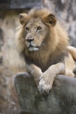 Lion face (front look close up) resting on top of a rock Stock Photography