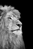 Lion Face isolato in bianco e nero Fotografie Stock