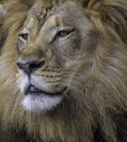 Lion Face Royalty Free Stock Photography