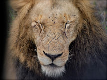 Lion face with scars Royalty Free Stock Images