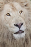 Lion face up close Royalty Free Stock Photo