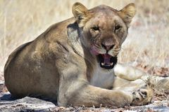 Lion faisant une pause photos libres de droits