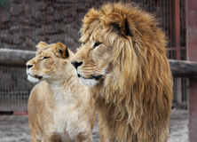 Lion family. Watching in a zoo royalty free stock photos