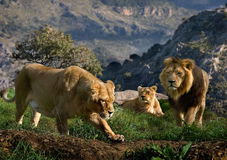 Lion family. A family of Lions look for prey on the hills high above the valley Royalty Free Stock Images