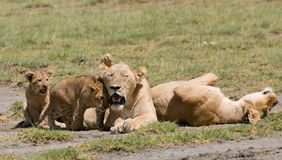 Lion family Royalty Free Stock Photography