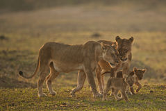 Lion family. Family of two female lions and cubs Royalty Free Stock Photo