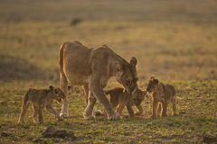 Lion family. Family of lioness and three cubs Stock Image