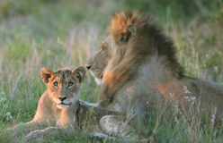 Lion Family royalty free stock images