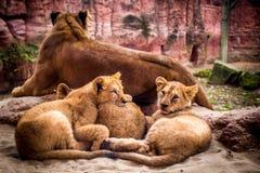 Lion Family al parco Immagini Stock Libere da Diritti