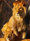 Lion family close together Royalty Free Stock Photography